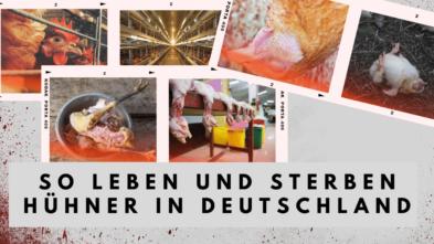Hühner leben und sterben Massentierhaltung