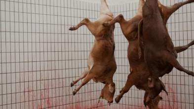 Tierleid im Schlachthof